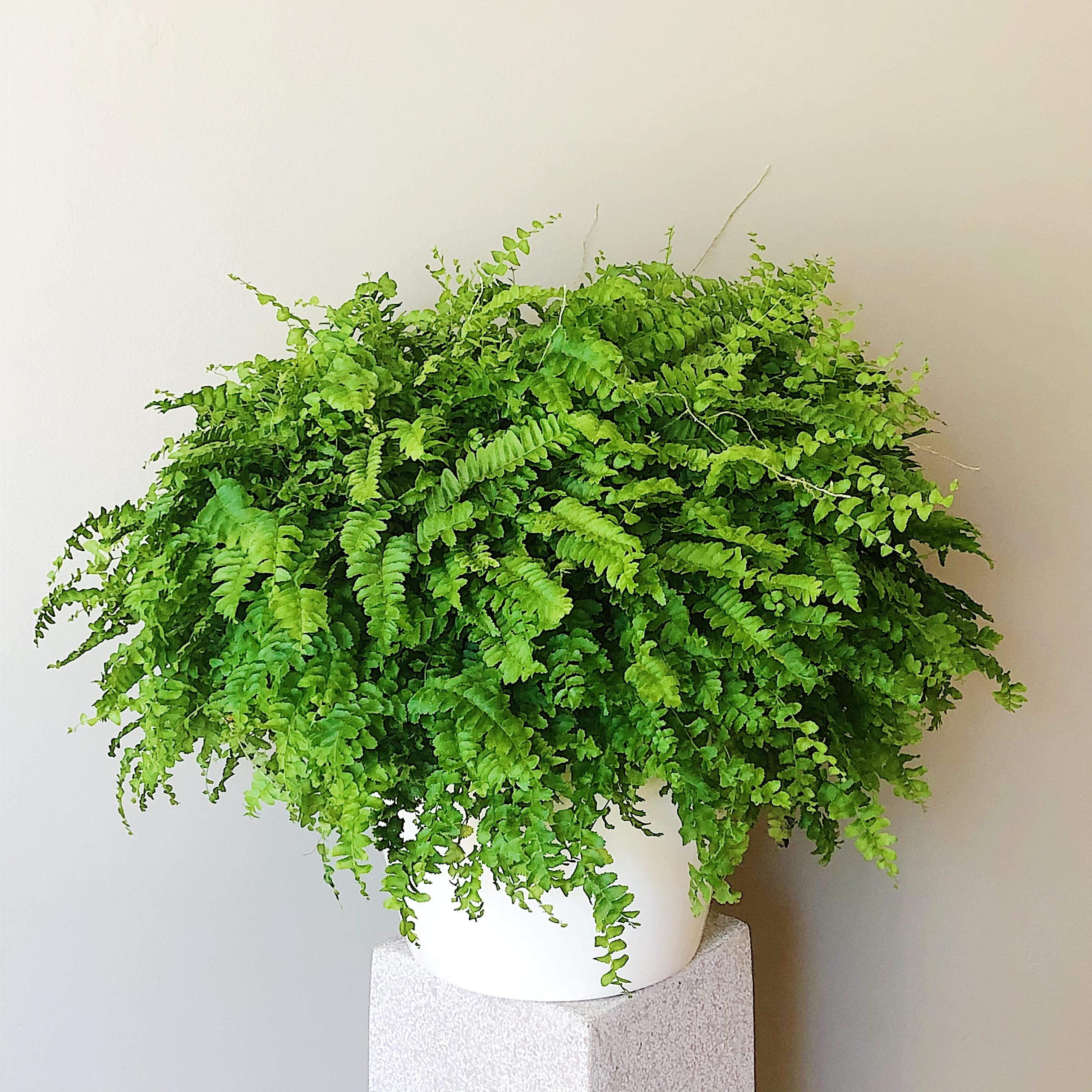 Decorative Fern
