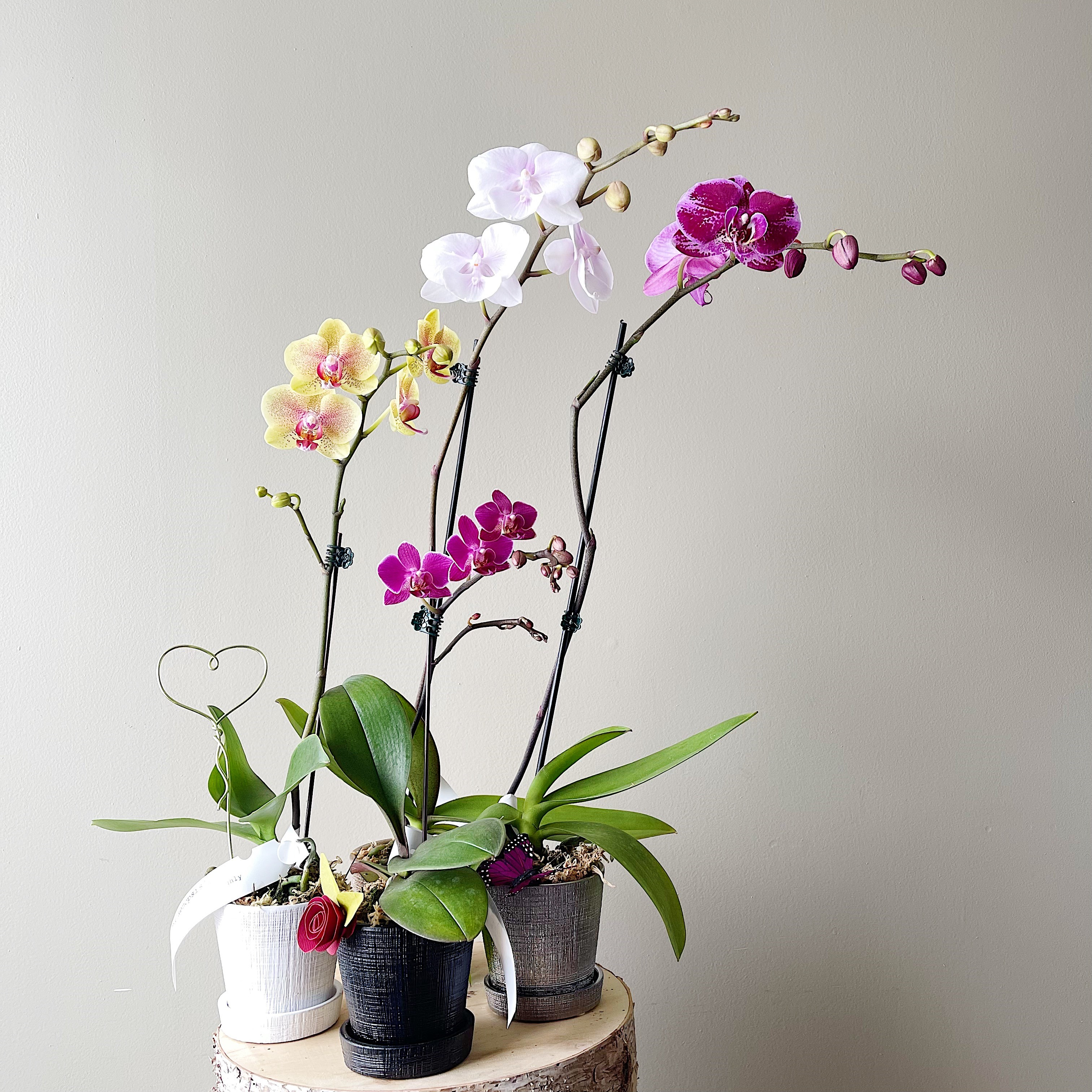 Lovely Blooming Phalaenopsis Orchid