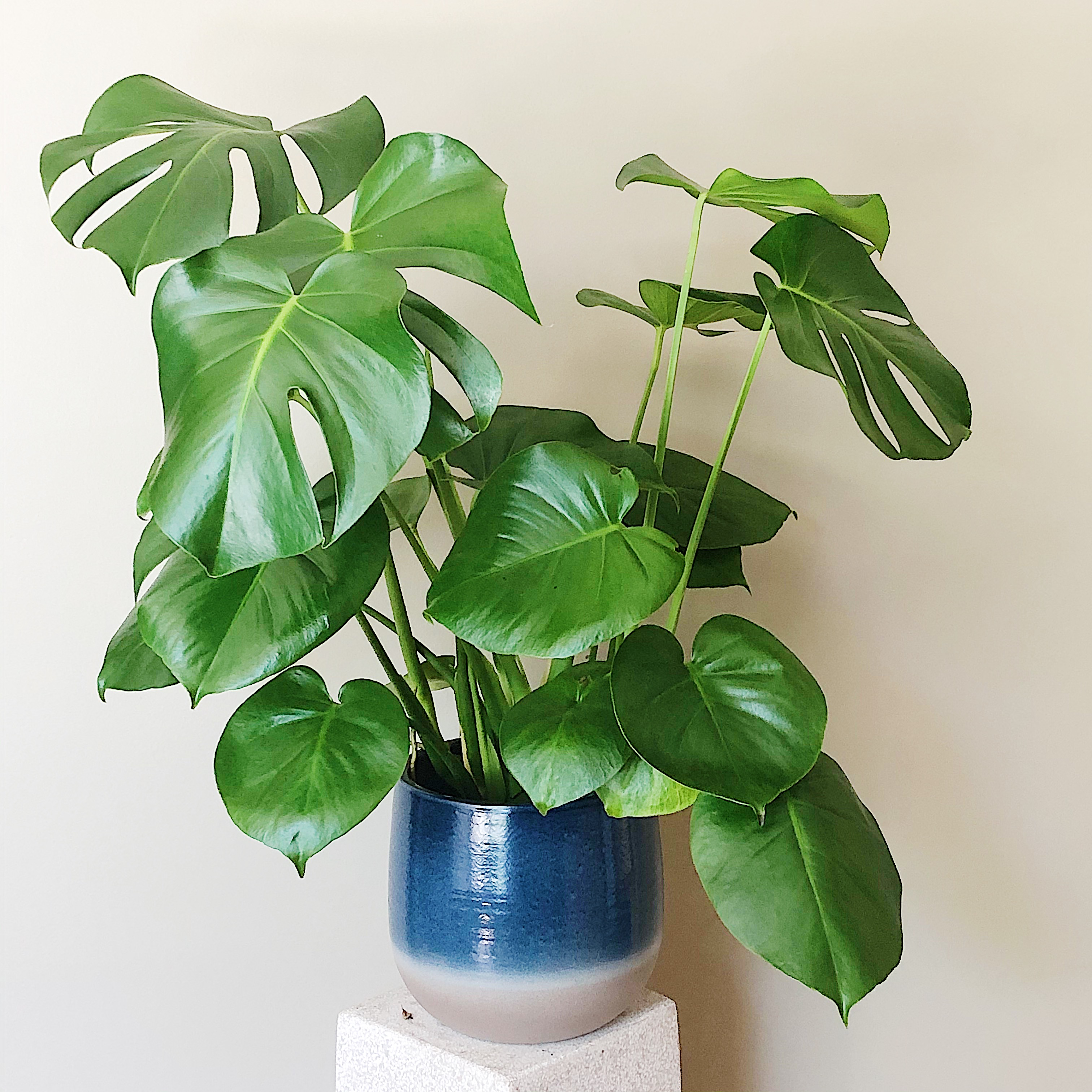 Memorable Monstera