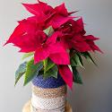 "Red Poinsettia 6"""