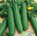 Cucumber - Salad Bush