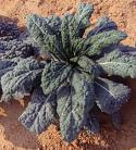 Kale - Black Magic