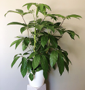 Satisfying Schefflera