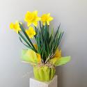 Divine Daffodils